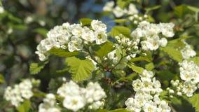 Giardino di fioritura Rami dell'albero da frutto in primavera Primo piano dei fiori bianchi Inflorescenze di cratego stock footage