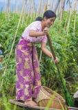 Giardino di galleggiamento del Myanmar del lago Inle Fotografia Stock Libera da Diritti