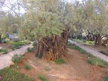 Giardino di Gethsemane Fotografia Stock Libera da Diritti