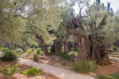 Giardino di Gethsemane di olivo di Mille-anno Immagine Stock Libera da Diritti