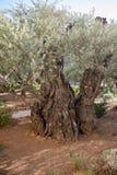 Giardino di Gethsemane di olivo di Mille-anno Fotografia Stock