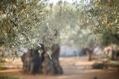 Giardino di Gethsemane Posto storico famoso fotografia stock