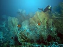 Giardino di gorgonian immagine stock