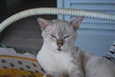 Giardino di menzogne del terrazzo del gatto domestico immagini stock