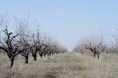 Giardino di molti alberi nudi in molla in anticipo immagini stock libere da diritti