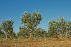 Giardino di olivo in Mali Losinj, Croazia Immagine Stock