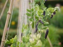Giardino di permacultura con i fagioli ed i fiori fotografie stock