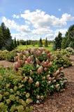 Giardino di Pinky Winky Hydrangea Immagini Stock