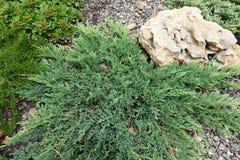 Giardino di rocce con i procumbens del juniperus nella priorità alta Immagini Stock