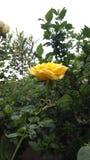 Giardino di rose di Naturelover dei fiori fotografia stock libera da diritti