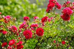 Rose fiori giardino di · foto gratis su pixabay