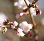 Giardino di Sakura in primavera Fiori rosa Fotografie Stock Libere da Diritti