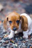 Giardino di stagione di autunno del cane del bassotto tedesco Immagini Stock
