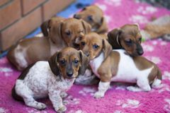 Giardino di stagione di autunno del cane del bassotto tedesco Fotografia Stock Libera da Diritti