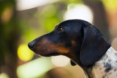 Giardino di stagione di autunno del cucciolo di cane del bassotto tedesco Fotografia Stock
