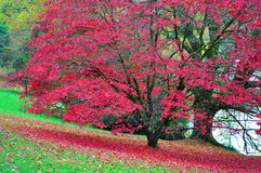 Giardino di Stourhead - lago e Acer - Autumn Colours Fotografie Stock