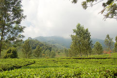 Giardino di tè Fotografie Stock