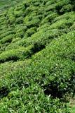 Giardino di tè Fotografia Stock