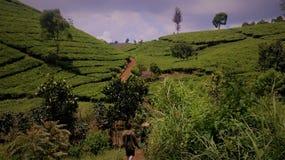 Giardino di tè ad ovest stupefacente di Java Fotografia Stock
