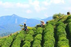 Giardino di tè al malino Fotografia Stock Libera da Diritti