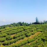 Giardino di tè Darjeeling Fotografia Stock Libera da Diritti