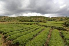 Giardino di tè del villaggio del junyingcun Fotografia Stock