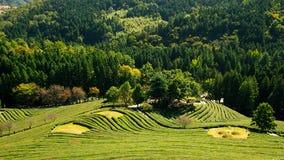 Giardino di tè della pianta Immagine Stock