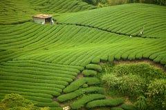 Giardino di tè di Gua del Ba in Taiwan Fotografia Stock Libera da Diritti