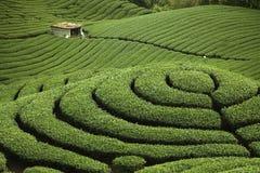 Giardino di tè di Gua del Ba in Taiwan Fotografia Stock