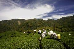 Giardino di tè di Gua del Ba in Taiwan Fotografie Stock