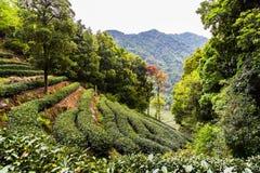 Giardino di tè di Meijiawu Fotografia Stock