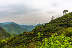 Giardino di tè di Meijiawu Immagini Stock