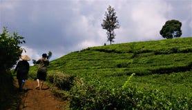 Giardino di tè incredibile situato in Java ad ovest, Indonesia Immagini Stock Libere da Diritti