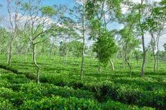Giardino di tè nel Bangladesh Fotografie Stock