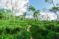 Giardino di tè nel Bangladesh fotografie stock libere da diritti
