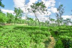 Giardino di tè nel Bangladesh immagini stock libere da diritti