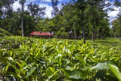 Giardino di tè su Moulovibazar, Bangladesh Fotografie Stock