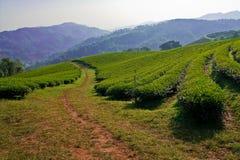 Giardino di tè sul mountatin nel Nord della Tailandia Immagine Stock