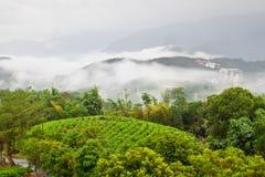 Giardino di tè sulla collina trascurata Fotografia Stock