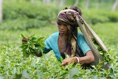 Giardino di tè a Sylhet, Bangladesh fotografie stock