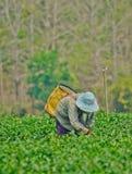 Giardino di tè in Tailandia del Nord Fotografie Stock