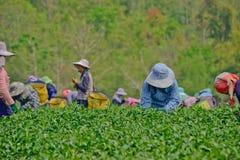 Giardino di tè in Tailandia del Nord Fotografia Stock