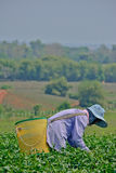 Giardino di tè in Tailandia del Nord Immagini Stock