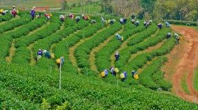 Giardino di tè in Tailandia del Nord Fotografia Stock Libera da Diritti
