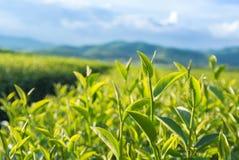 Giardino di tè verde Fotografia Stock