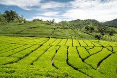 Giardino di tè verde con cielo blu Immagine Stock