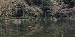 Giardino e carpe a specchi giapponesi nello stagno Fotografie Stock Libere da Diritti