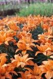 Giardino floreale dei gigli Immagine Stock Libera da Diritti