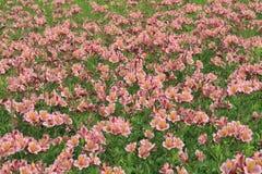 Giardino floreale del fondo di alstroemeria Fotografia Stock