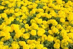 Giardino floreale 2 del tagete immagine stock